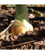 Texas Grano 500 Onion Seeds Allium cepa Spring Summer or Fall Short day - $10.99
