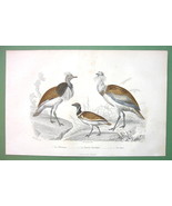 BIRDS Great & Small Bustard - 1860s COLOR Print by Buffon - $14.92