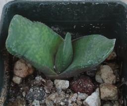Gasteria Hybrid 9 Nature's Curiousity Shop (NCS) Succulent Plant - $8.85