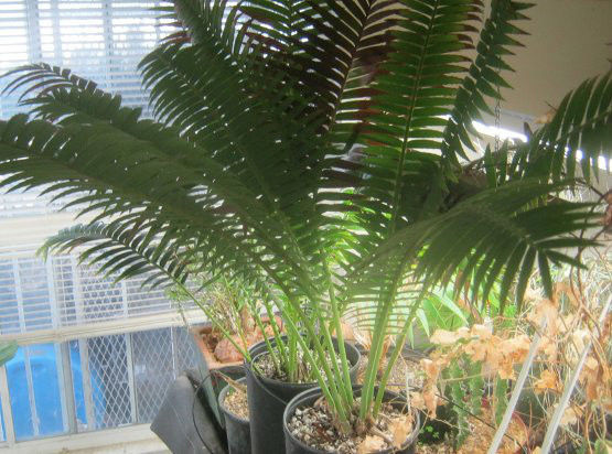 Dioon spinulosum Cold Hardy Drought Tolerant Palm Grows Large 30
