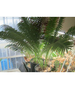 Dioon spinulosum Cold Hardy Drought Tolerant Pa... - $80.14