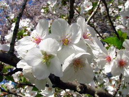 Snowgoose Flowering Cherry  tree 2 plants image 1