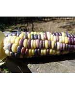 Rainbow Sweet Corn  - multicolored kernels with sweet, old-fashioned flavor - $5.00