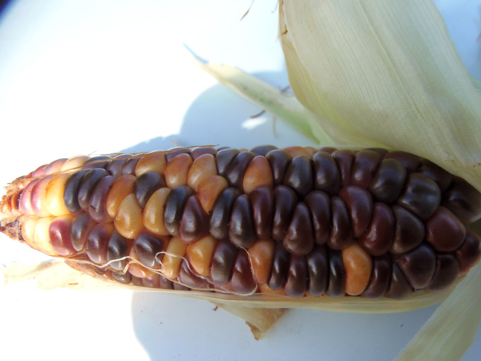 Rainbow Sweet Corn  - multicolored kernels with sweet, old-fashioned flavor