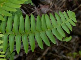 Christmas fern 20 rhizome (Polystichum acrostichoides) image 5