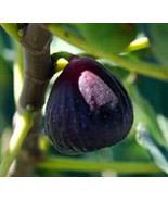 LSU Purple Fig Cuttings, 3 Cuttings, LSU Purple Fig Tree Cutting,Zone 7 ... - $8.79