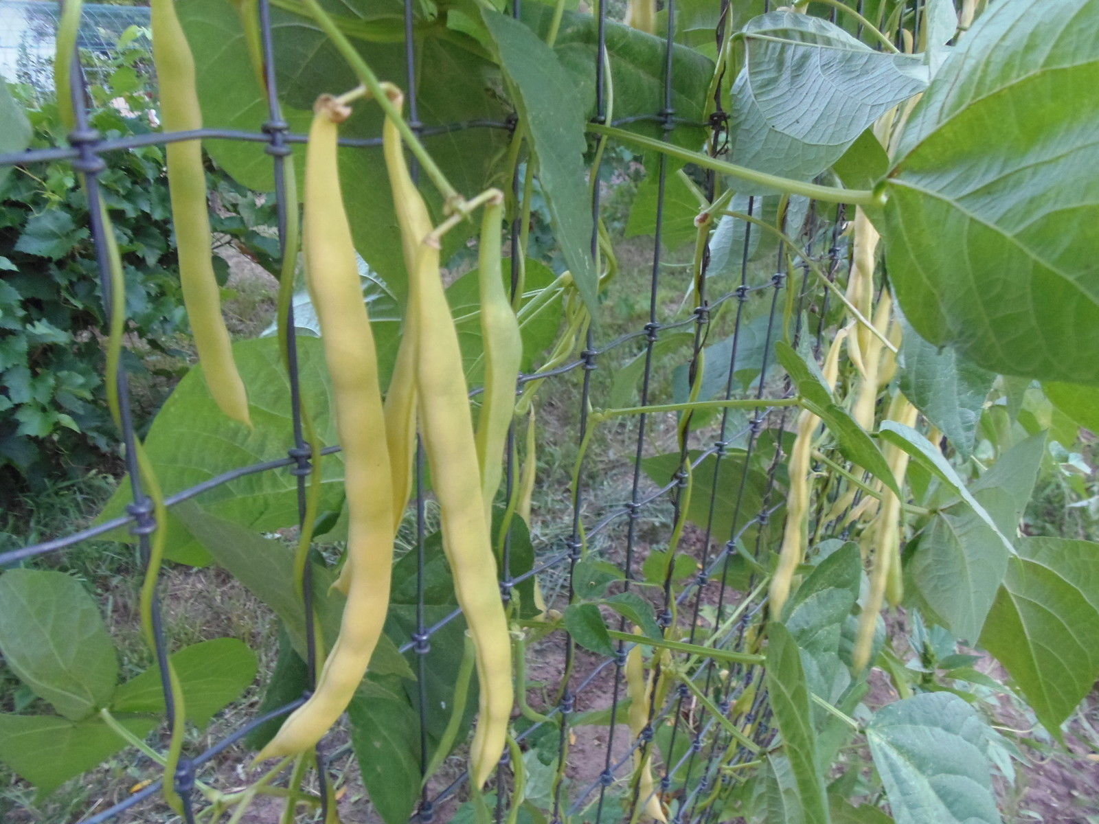 Neckargold pole bean - golden heirloom bean from Germany with great flavor