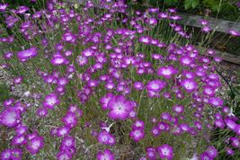 Best Price 20 Seeds Purple Corn Cockles,Diy Decorative Plant A053 Dg - $4.99