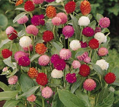 30pcs Very Graceful Higro Mix Gomphrena Globe Amaranth Flowers Seeds IMA1 - $13.99