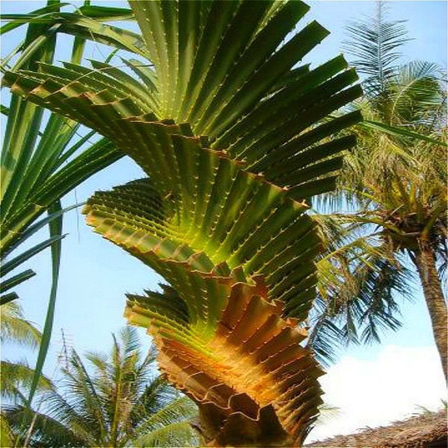 12 Palm Type Houseplants on palm fertilizer types, palm leaves types, palm plants types, ponytail palm types,