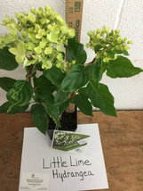 LITTLE LIME Hydrangea PP#22330 image 5