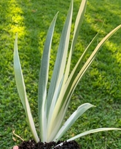 "1 Small Plant - Variegated Iris 6"" Tall #HWG13 - $30.99"