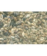 Sea Shell Craft Tiny Shells Lot 1 - $13.59