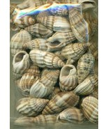 Sea Shell Craft Small Shells Lot  1 - $13.59