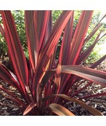 10Pcs Phormium New Hybrids Ornamental Grass Seeds New Zealand Flax Seed - $19.72