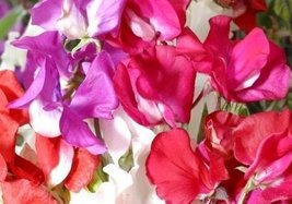 Non GMO Bulk Sweet Pea, Knee High Mix Flower Seeds Lathyrus odoratus (5 Lbs) - $235.57