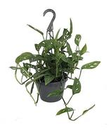 """Swiss Cheese Plant - Monstera adansonii - Easy to Grow Old Favorite - 8""""... - $29.99"""