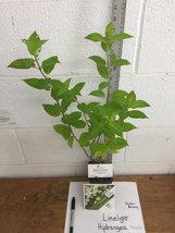 LIMELIGHT Hydrangea shrub PP#12874 image 6