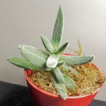 "Fuzzy Succulent in Red Pot - Live Crassula Plant 2"" Planter image 3"
