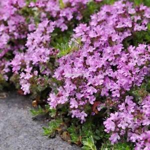 Mehrjährige Bonsai Creeping Thymian Samen Blume Pflanzen Samen ElR8