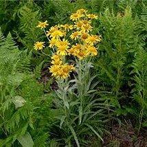 50 Sneezeweed Hoppesii (Helenium) Seeds - $8.99