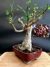 Brachychiton tree Bonsai - Approximately 25 years old plant  - $450.45