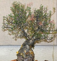 Pachycormus discolor, Elephant Tree Caudiciform trunk caudex bonsai seed 5 SEEDS - $18.00