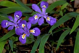 5 Crested Iris,wild iris roots,Iris cristata  image 1
