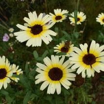 50 Seeds of Chrysanthemum Eastern Star Annual Seeds - $19.80