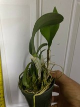 Rlc. Siam White 'The Best' CATTLEYA Orchid Plant Pot BLOOMING SIZE 0325a image 2