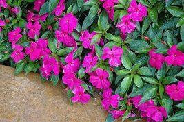 25 Impatiens Seeds New Guinea Impatiens Divine Violet Seeds - $11.99