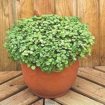500+WATERCRESS Seeds Organic Non-Gmo SUPERFOOD Spring/Fall Garden/Container - $2.75