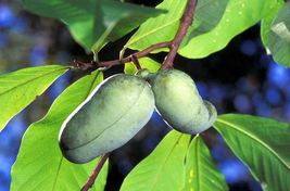 Fresh Paw Paw Fruit Tree ( 5 Seeds )* Pawpaw The Indiana Banana *New Cro... - $12.95