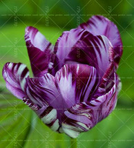 100PCS Tulip ,Tulip agesneriana,aromatic Flower potted violet - $2.99