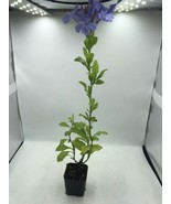 "Plumbago Blue Flower Live Plant  12"" Tall Drought Tolerant Low Water Easy - $6.18"