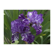1 Quart Pot Batik Iris Established Iris 1 Plant - $43.99