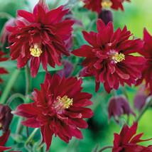 50 Barlow Red Columbine Flower Perennial Seeds #STL17 - $15.17