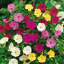 Four O'Clock Formula Mix Flower Seeds Mirabilis jalapa ceylon seeds from sri lan - $5.39
