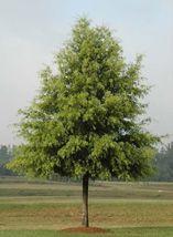 Willow Oak-(quercus phellos) image 5