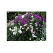 15 Canterbury Bells Cup & Saucer Flower Seeds-1238 - $2.98