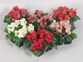 50 Begonia Seeds Pelleted Seeds Super Olympia Mix  FLOWER SEEDS - $3.32