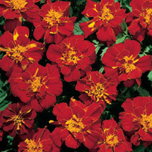 50 Marigold French Durango Red Seeds PLANT SEEDS - $4.04