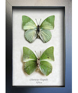 Set Green Leaf Mimic Charaxes Eupale Real Butterfly In Museum Quality Sh... - $59.99