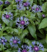 25 Pcs Seeds Montana Cornflower Centaurea Flower -  RK - $6.00