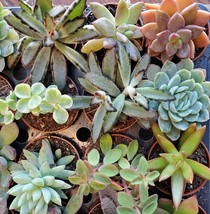 """Succulent Mystery Box, set of 3 live plants, 2"""" Assorted Variety Valentines Gift image 4"""