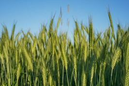 Canada Wild Rye Seeds | Cover Crop Grass Seeds | Wild Rye Grass Seeds 10... - $13.42
