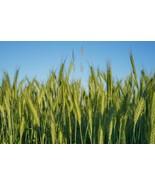 Canada Wild Rye Seeds   Cover Crop Grass Seeds   Wild Rye Grass Seeds 10... - $13.42