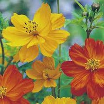 BRIGHT LIGHTS COSMOS 1000 SEEDS ORGANIC NEWLY HARVESTED, BEAUTIFUL BRIGH... - $10.99