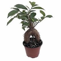 "Green Island Ficus Pre Chinese Bonsai Tree 4""Pot Plant Garden Home Best Gift - $26.32"