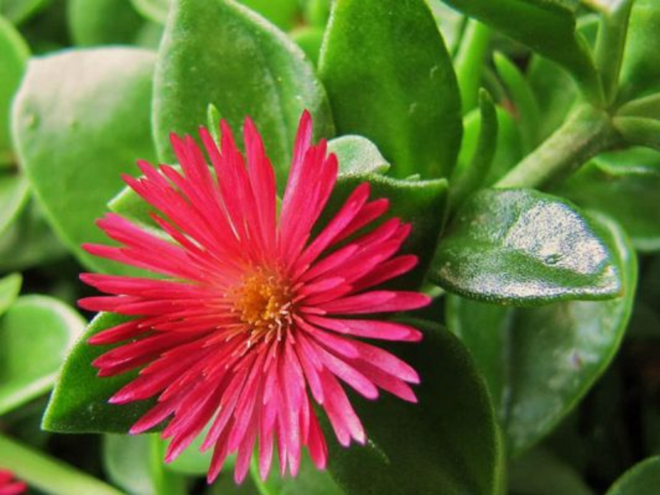 Primary image for 20 Fresh cuttings Red Apple Ice Plant Aptenia cordifolia TkEpots